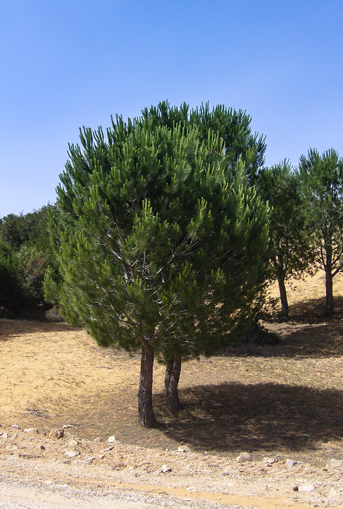 Pinus halepensis - Aleppokiefer