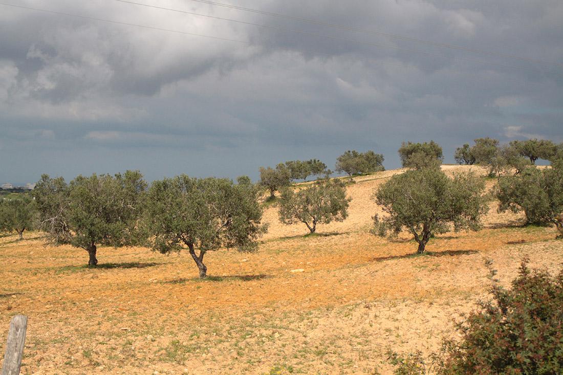 Olivenbäume Cap Bon