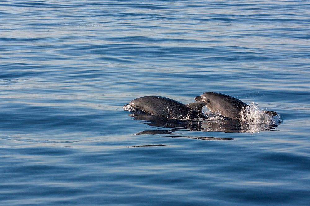 Delphinidae - Delfine
