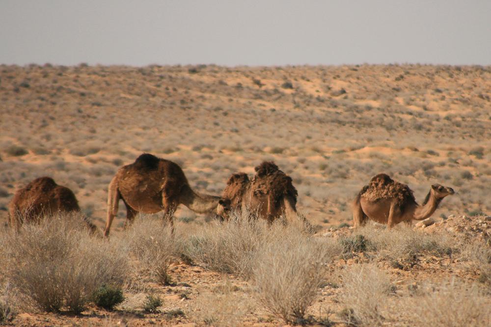 Camelus dromedarius - Dromedar