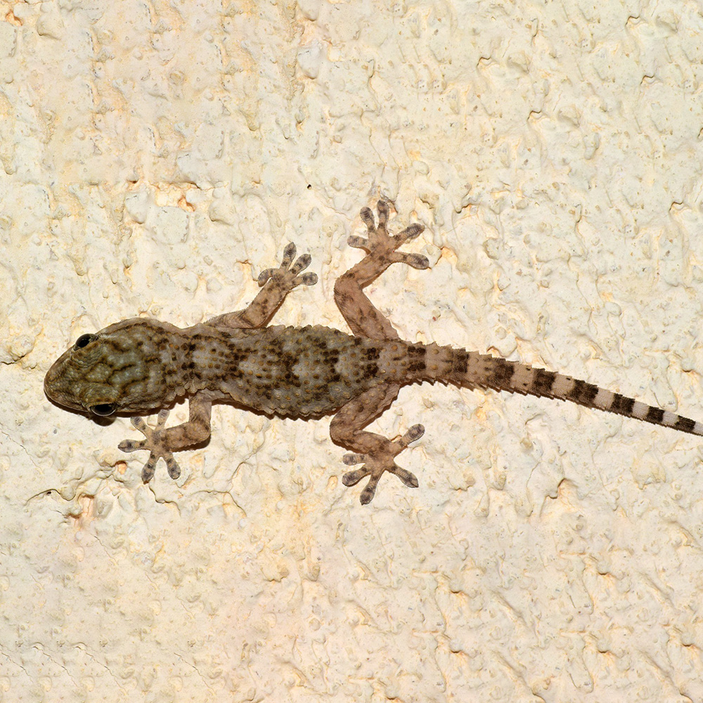Gekkonidae - Geckos