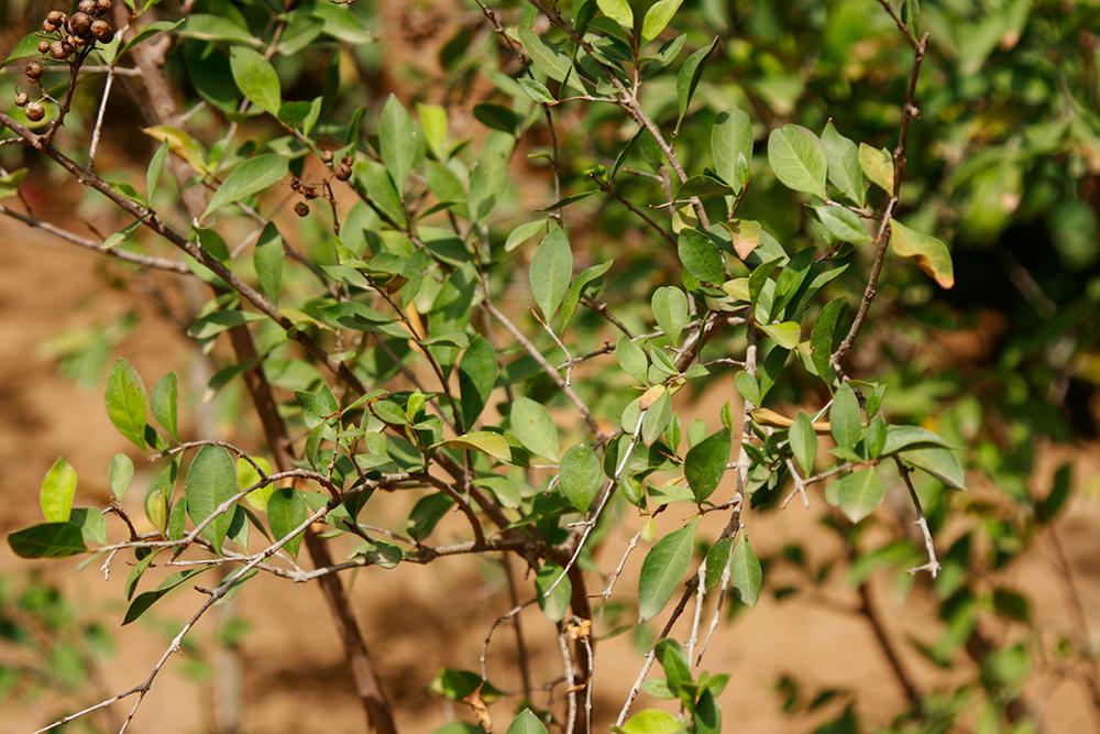 Lawsonia inermis - Henna