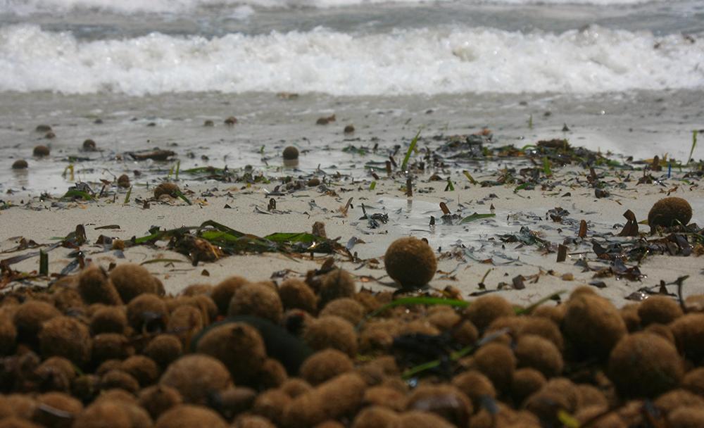 Posidonia oceanica - Seegras