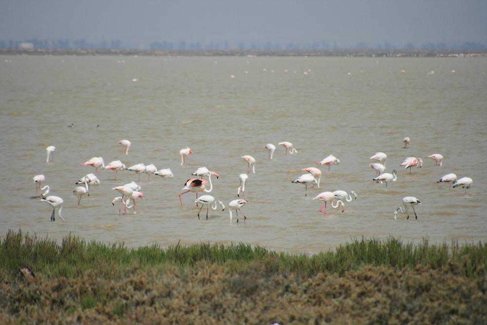 Flamingos Tunesien