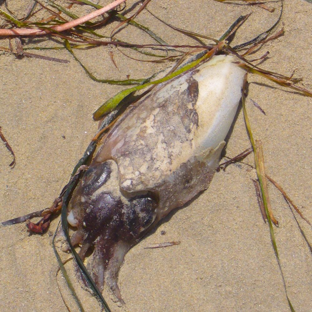 Sepiidae - Tintenfische