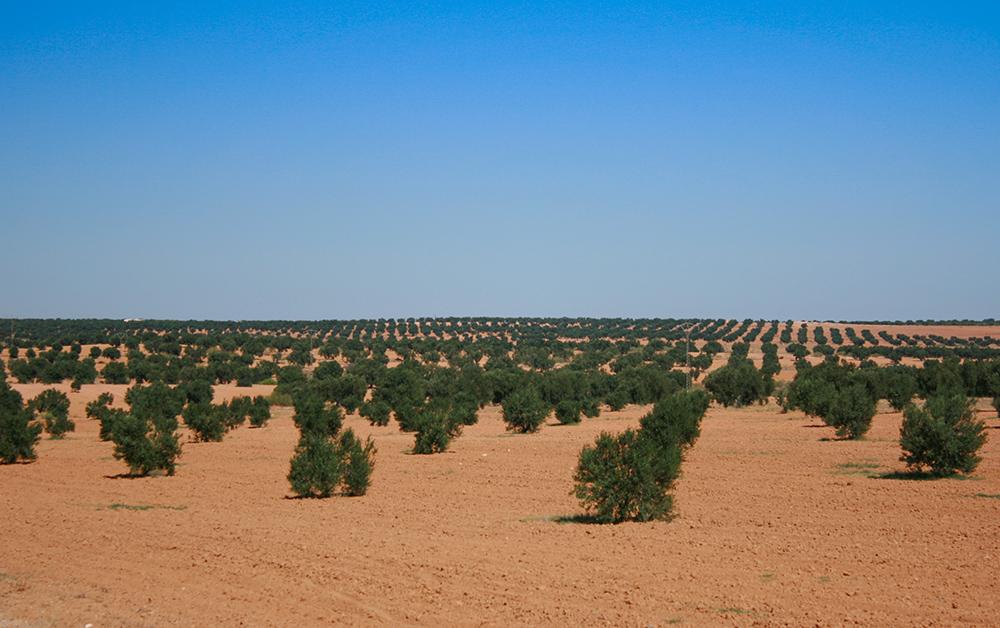 Sfax Oliven