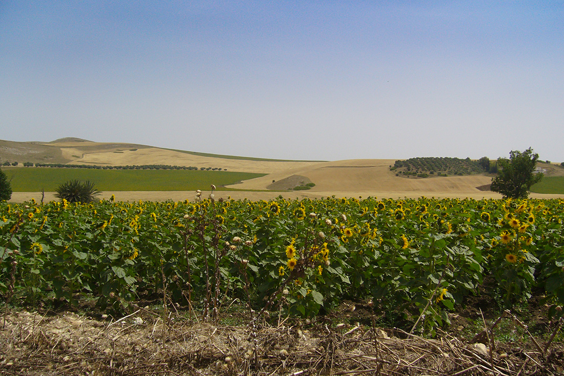 Sonnenblumen Tunesien